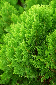 Leaves of pine tree or Oriental Arborvitae , Scientific Name:Thu