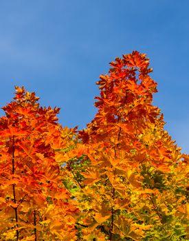 Colorful maple leafs portrait