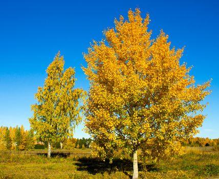 Bright autumn colored birch