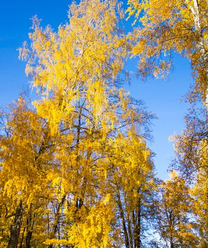 Bright yellow birch forest
