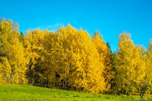 Bright yellow autumn forest