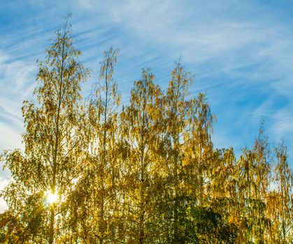 Yellow autumn birches against the sun