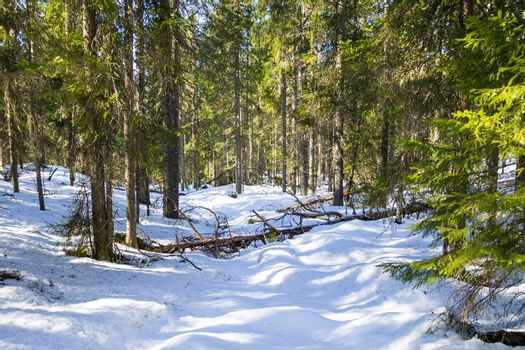 Virgin forest in the winter