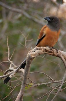 Rufous treepie (Dendrocitta vagabunda) sitting in a tree, Rantha