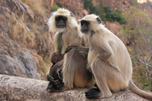 Gray langurs (Semnopithecus dussumieri) with a baby sitting at R