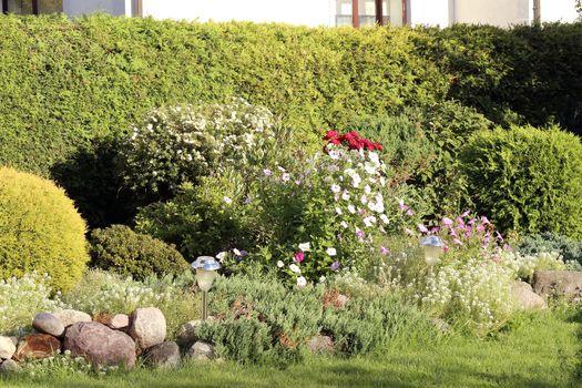 Geranium bushes