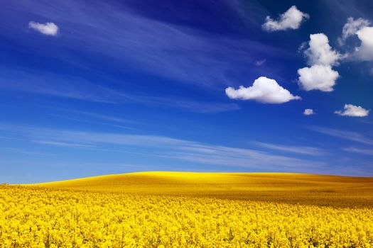 Spring field, landscape of yellow flowers, rape. Blue sunny sky.