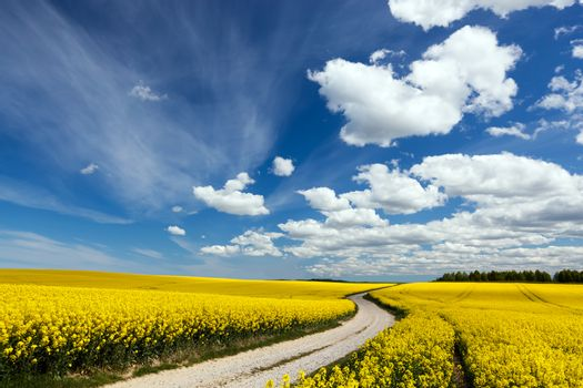 Country way on spring field of yellow flowers, rape. Blue sunny sky