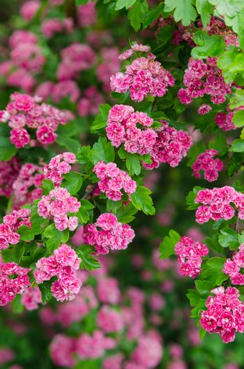 Blossoming hawthorn, close-up