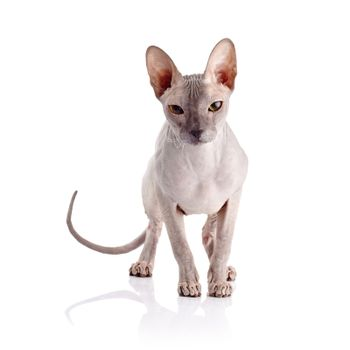 Bald cat.