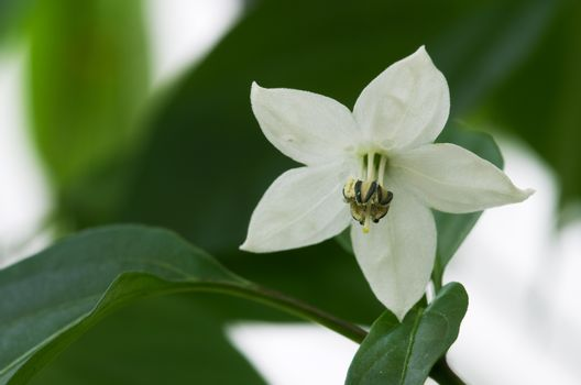 Bird's eye chili flower - Capsicum frutescens