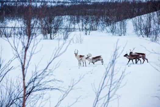 Reindeer. Norway, Scandinavia