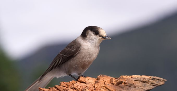 A Grey Jay or Whiskey Jack is perched on a broken log