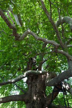 The sexcentenary plane tree