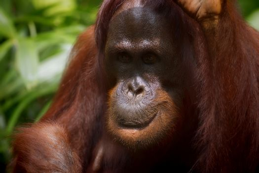 Orangutan in the jungle of Borneo, Malaysia