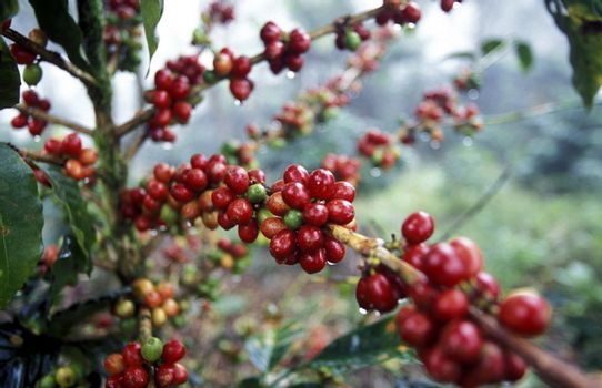 The coffee Plantations in the Hills of Copan in Honduras in Central America,