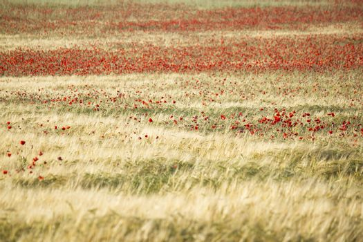 Abstrack image of a red poppy field, with a green and yellow wheat field mixed with the red flowers.
