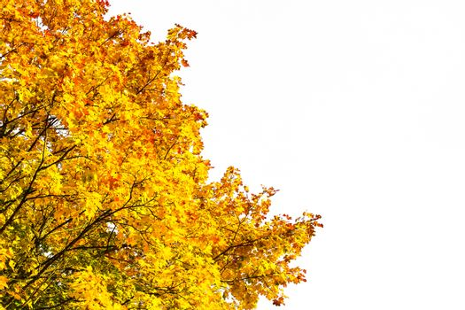 Autumn colored maple tree branches