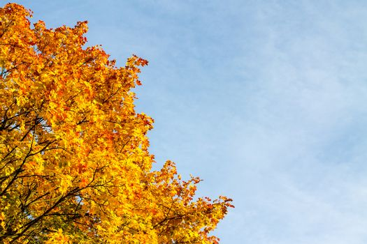Autumn colored maple tree leaves