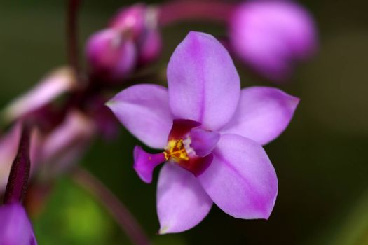 Potted plant orchid. (Ground orchid, Spathoglottis)