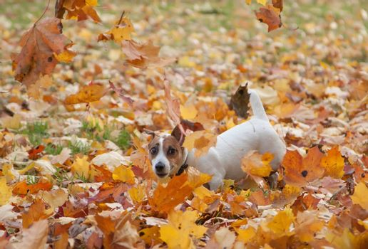 Cute Jack Russel Terrier has fun outdoors