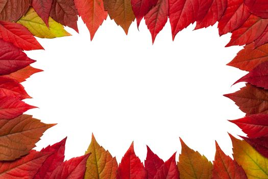 Autumn leaves frame on white background. Virginia creeper leaves. Top view