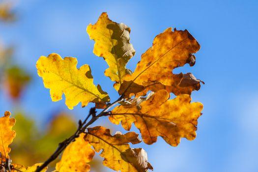 Autumn yellow oak leaves