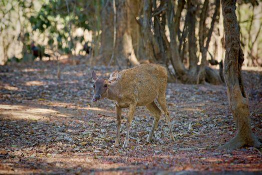 A deer walking in the wilderness of Komodo national park