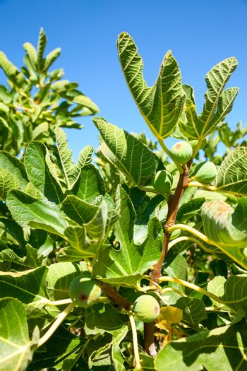 Leaves and immature fruit of a common fig