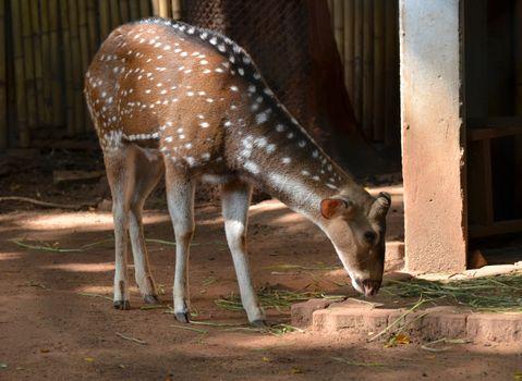 Spotted deer in safari