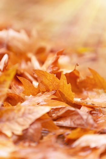 Beautiful autumn background, golden dry maple leaves on the ground in park, fall season, change of nature concept