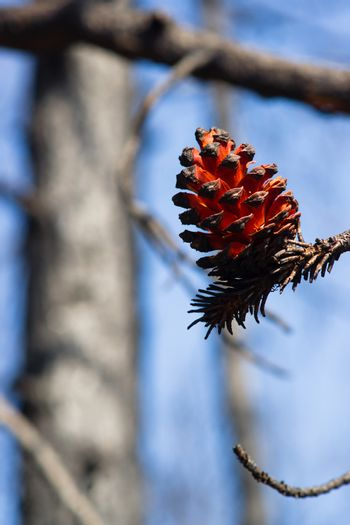 Extraordinary Forest Tree Pine Cone After Fire