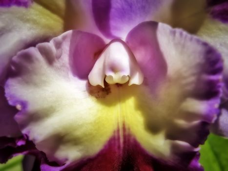 Lavender and Yellow Orchid