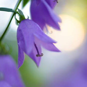 Beautiful Violet Campanula Flowers