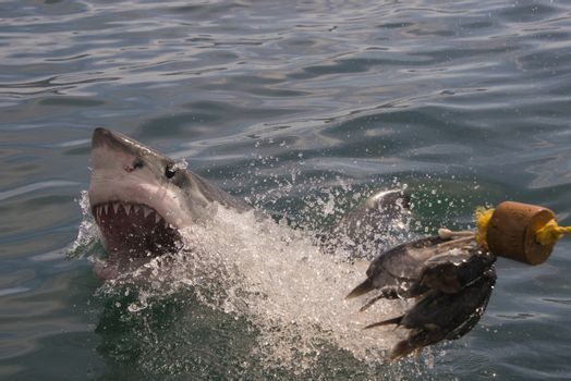 A great white shark goes for the bait and misses at a cage diving boat in South Africa