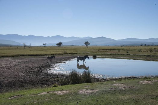 A zebra cools down in a lake, South Africa