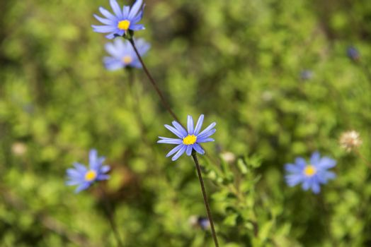 A close up of blue daisies in a field