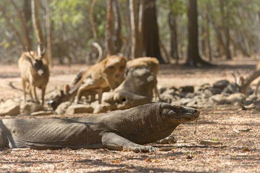 Komodo Dragon watching a group of wild deers at the waterhole
