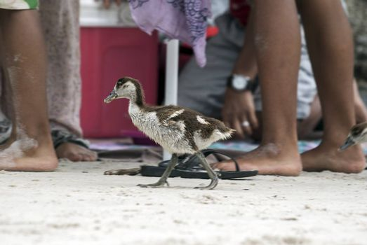 An Egyptian gosling walking amongst holidaymakers on a beach in South Africa