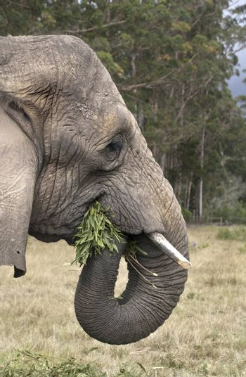 An elephant munches leaves in an elephant sanctuary in South Africa
