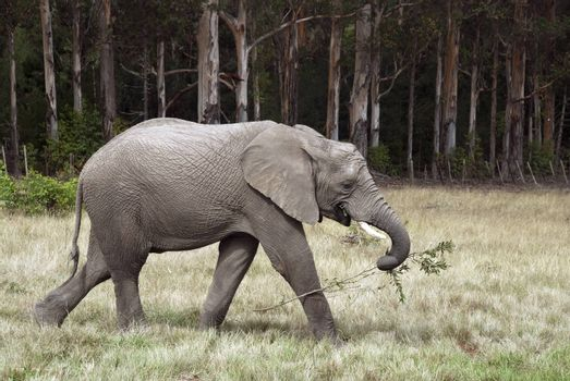 An elephant picks a branch from a tree and takes it away to eat later