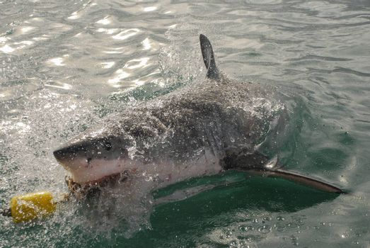 A great white shark bites into the bait from a cge diving boat in Gansbaai, South Africa