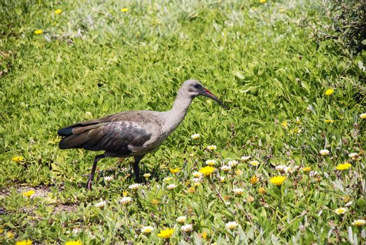 A hadeda ibis in a flower bed, South Africa