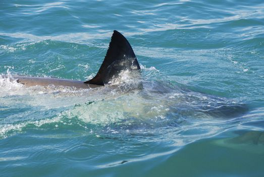 The fin of a great white shark cuts through the water, Gansbaai, South Africa