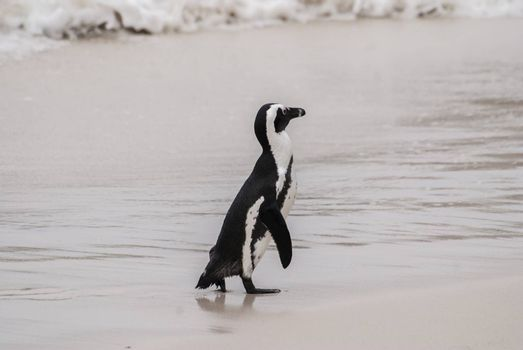 An African penguin on a beach