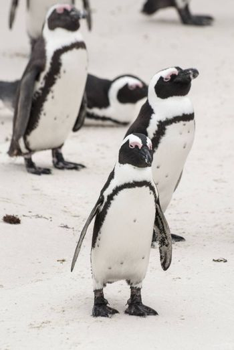 African penguins on a beach