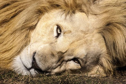 A white lion stares straight into the camera lens, South Africa