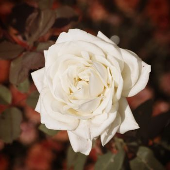 Single Close Up White Rose Over Natural Background