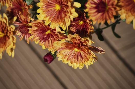 Photo of Bright Chrysanthemum Flower Over Brown Background