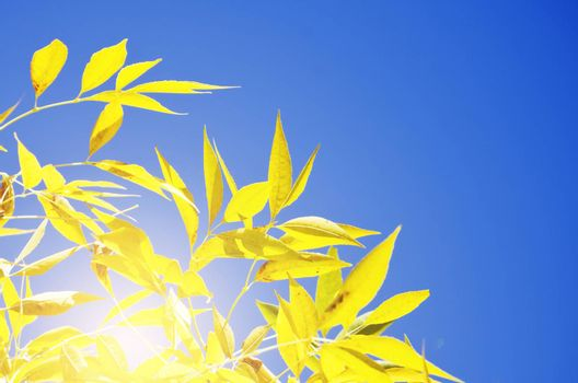 Bright Autumn Tree Yellow  Leaves in Sunny Day